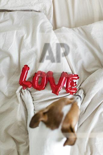 Dog on bed with love foil balloon, from above