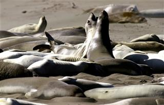 HEARST RANCH ELEPHANT SEALS