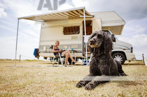 Attentive poodle lying on camping ground in front of camper