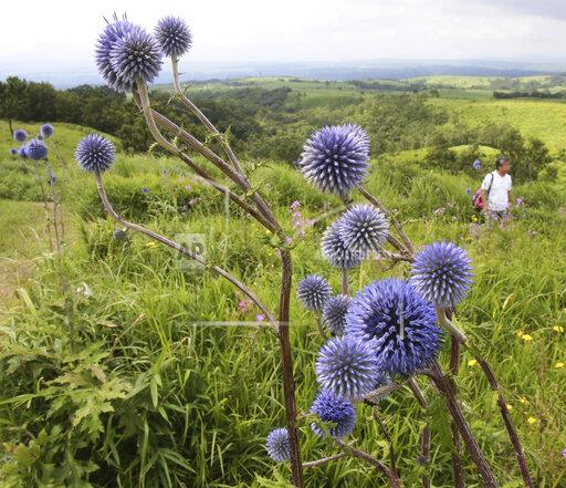 Echinops setifer in Japan