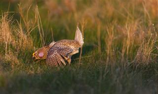 Sharp Tailed Grouse Relocation