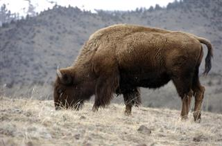 Congress Bison
