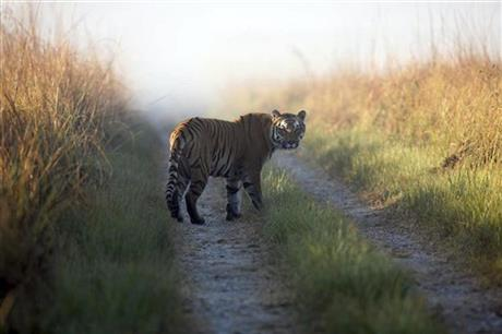 India Tiger Poaching