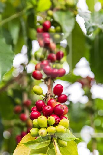 Coffee berries, close-up