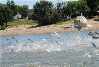 Asian Carp Rivers