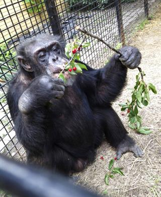 Personhood for Chimps
