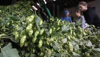 Czech Republic Hops Harvest
