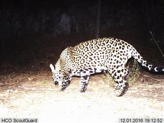Wild Jaguar-Photo