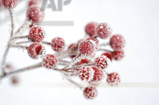 Red berries of common holly, Ilex aquifolium in winter, frost-covered