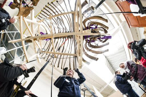 Skeleton of American mastodon shortly before transport to the USA