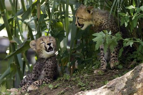 Cheetah Cubs-Olympians