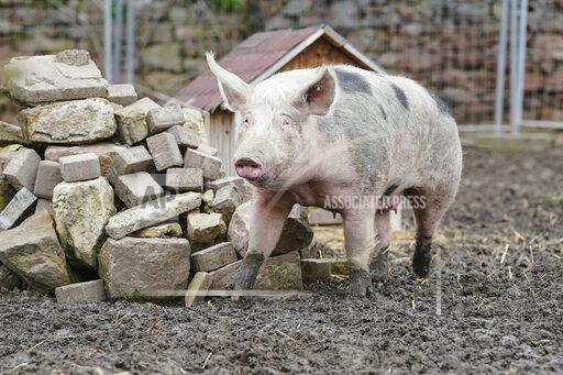 Grace Court grants refuge to pig Lotta