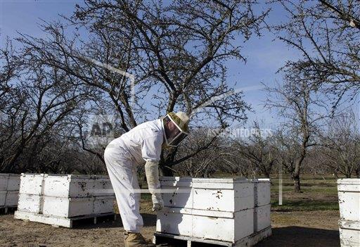 Dying Bees Almond Pollination