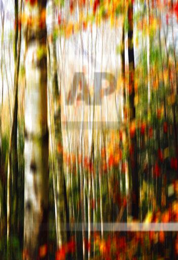 Blurred birch forest in autumn