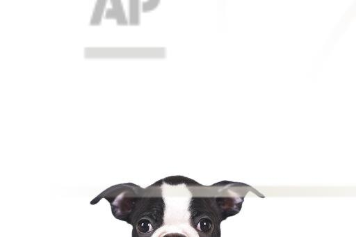 Peeking Boston terrier puppy in front of white background