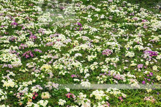 Flower meadow with many primroses in different colours