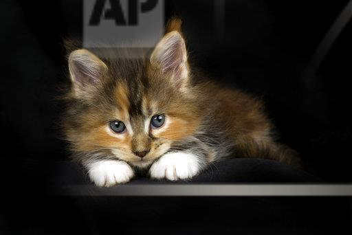 Maine Coon kitten in front of black background