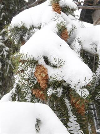 Pine cones with snow