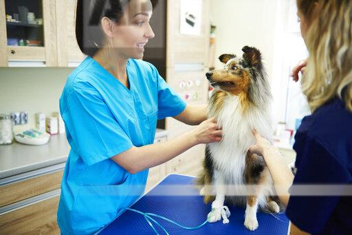 Female veterinarian and assistant examining dog in veterinary surgery