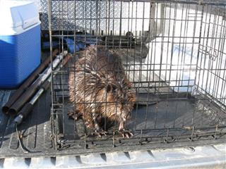 Fuel Spill-Rescued Beavers
