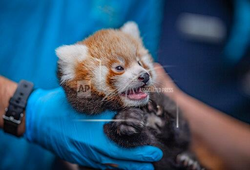 Red Panda Twins First Health Check-Up