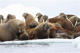 Walrus Research