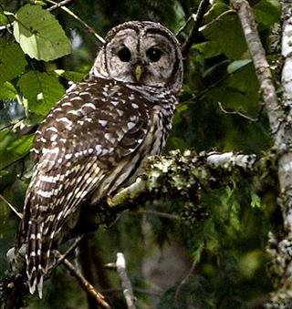 Spotted Owls-Rat Poison