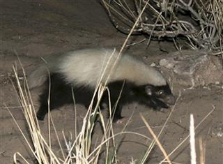 Grand Canyon Skunk