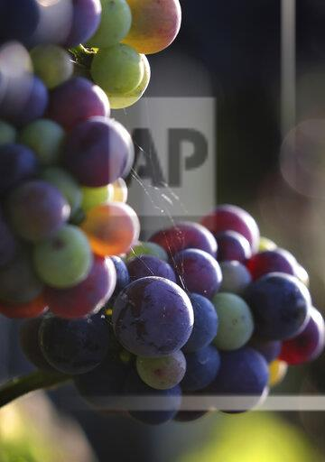 Grape in the evening light