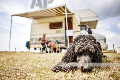 Poodle relaxing on camping ground