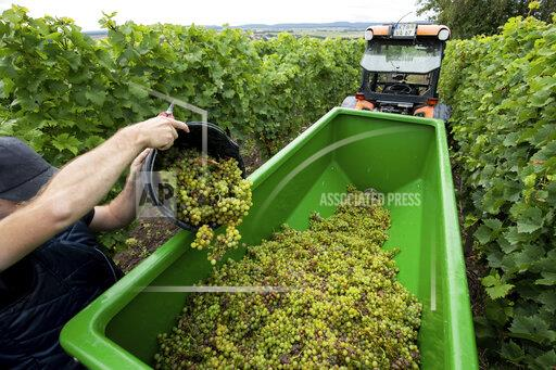 First winegrowers harvest grapes for Federwei'en in Franconia