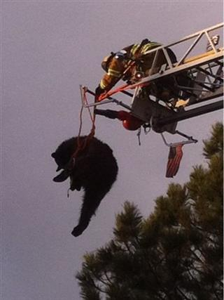 Bear Tree Rescue