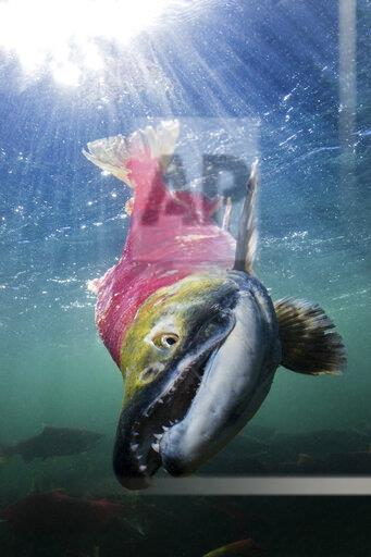 California, British Columbia, Adams River, Sockeye salmon, Oncorhynchus nerka