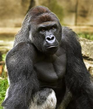 Africa Gorillas and Humans