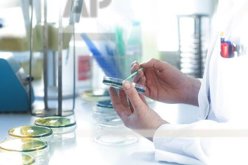 Lab technician working with growth medium in petri dish in lab