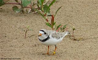 Piping Plover New York