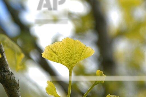 Ginkgo leaf / ginkgo blatter on a ginkgo tree