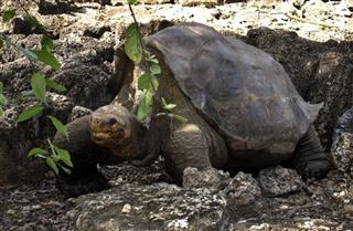 -Ecuador-Lonesome George's Lineage