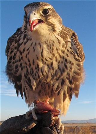 Idaho Falconers