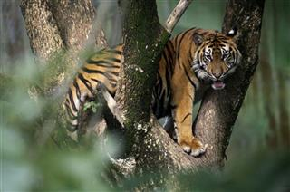 Indonesia Tiger Attack