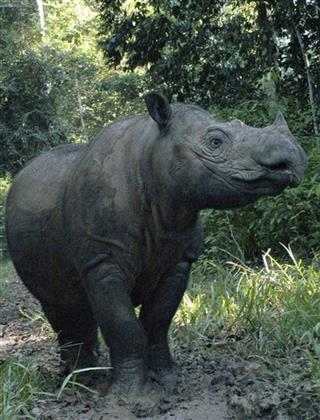 Indonesia Rhino Birth