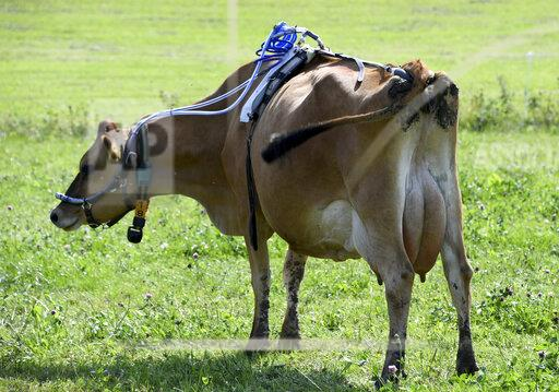 Researchers investigate methane emissions from cows