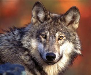 Endangered Wolves