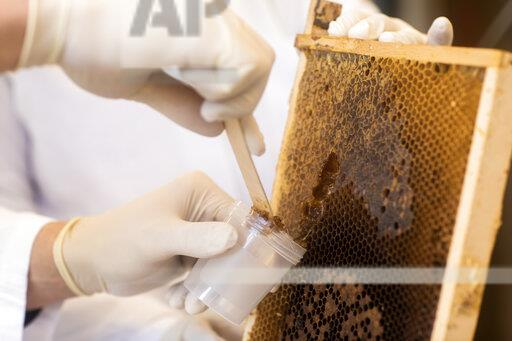 Lab technician removing honey from honeycomb in lab