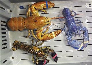 Odd Colored Lobsters