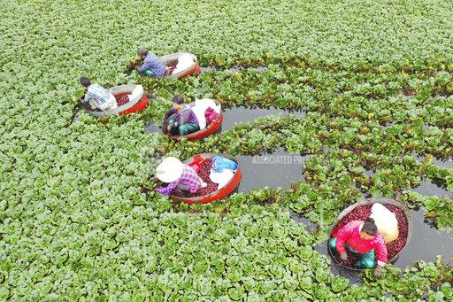 CHINESE FARMERS WATER CHESTNUT HARVEST POVERTY ALLEVIATION