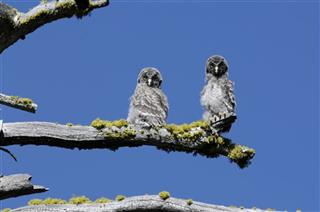 Yosemites Unique Owls
