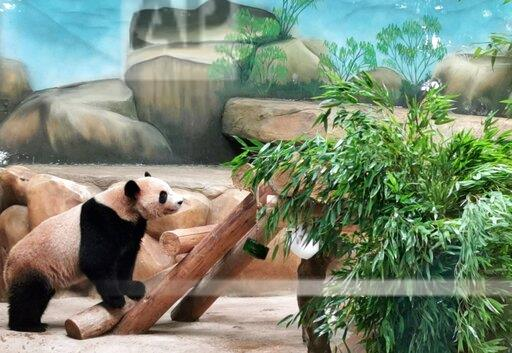 CHINA CHINESE JIANGSU NANTONG SAFARI GIANT PANDA TWINS BIRTHDAY