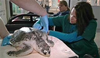 Sea Turtle Acupuncture