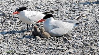 Caspian Terns-Salmon